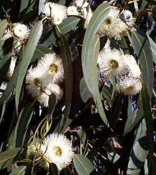 Eucalyptus Eucalypus Globulus Labill Cover