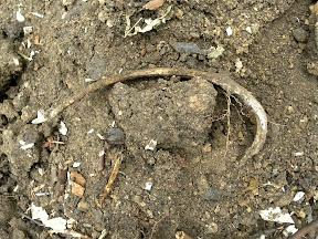 Найденная в земляном отвале человеческая кость (ребро)