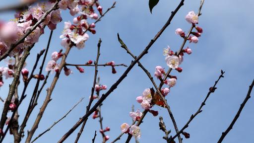 foto primavera fiori albero albicocco