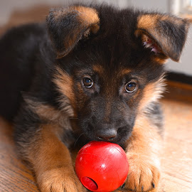 German Shepherd Puppy by Sandy Terry-Jones - Animals - Dogs Puppies (  )