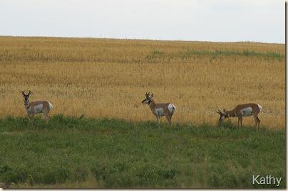 Antelope4