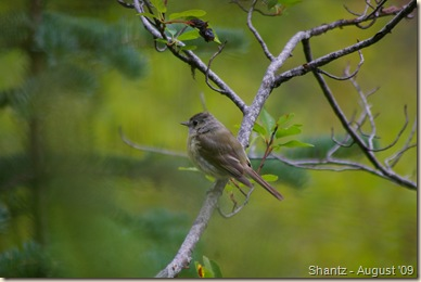 Flycatcher - unidentified - Manning Park