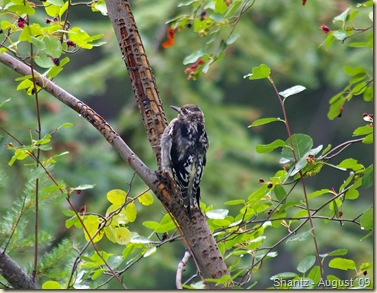Juvenile Red-naped Sapsucker at Manning Park, B.C.