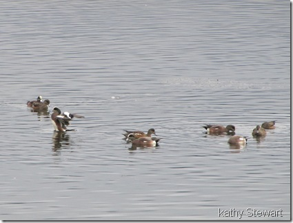 American Wigeon at the log bay