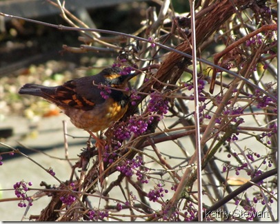 Varied Thrush in Callicarpia