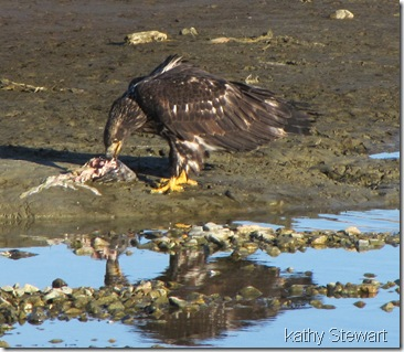 Juvenile eating salmon
