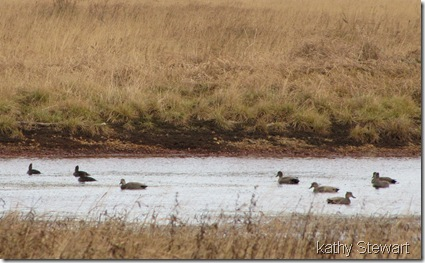 Hoodies and Gadwall