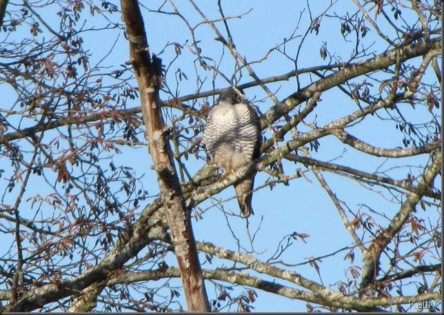 Peregrin Falcon at Riefel