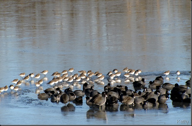 Dunlin and Coots
