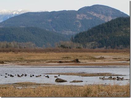 Sheltering ducks