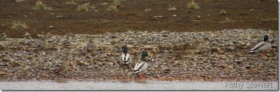 Mallards on the shore