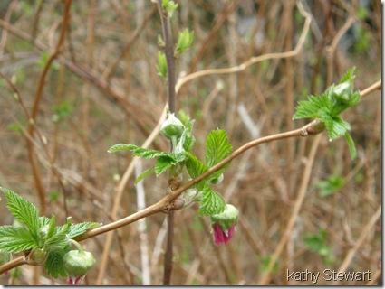 Salmon Berry flowers