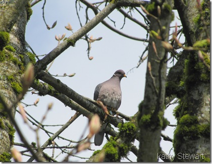 Bandtail Pigeon
