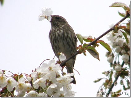 Purple Finch plucking cherry blossoms