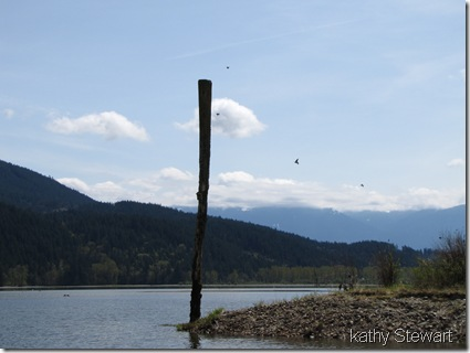 Swallows around post