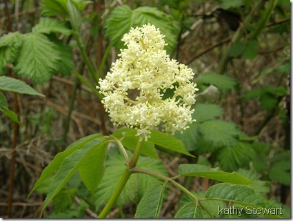 Elder Berry flower