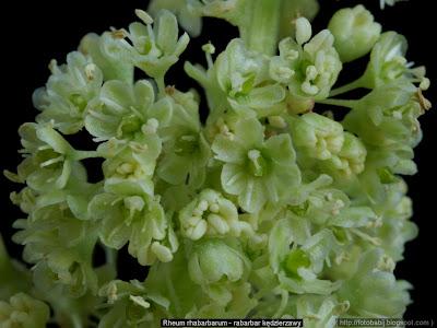 Rheum rhabarbarum flowers  - Rabarbar kędzierzawy kwiaty