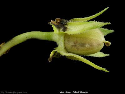 Viola tricolor - Fiołek trójbarwny