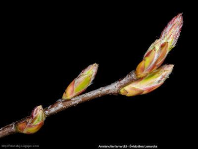 Amelanchier lamarckii - Świdośliwa Lamarcka