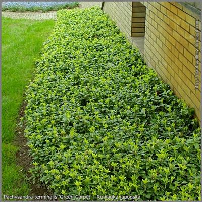 Pachysandra terminalis 'Green Carpet' habit - Runianka japońska Przykład zastosowania