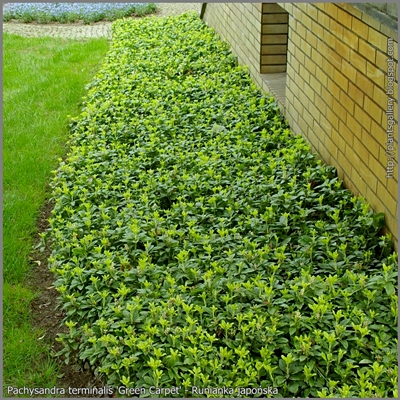 pachysandra green carpet  Pachysandra terminalis 'Green Carpet' hab...