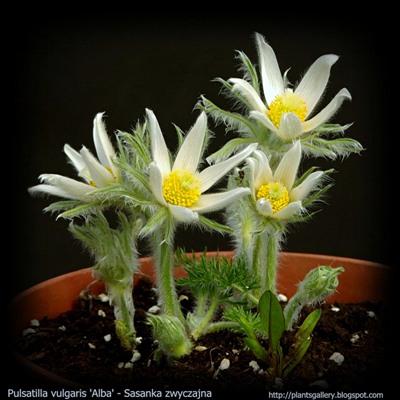 Pulsatilla vulgaris 'Alba' habit young plant -  Sasanka zwyczajna biała pokrój młodej rośliny