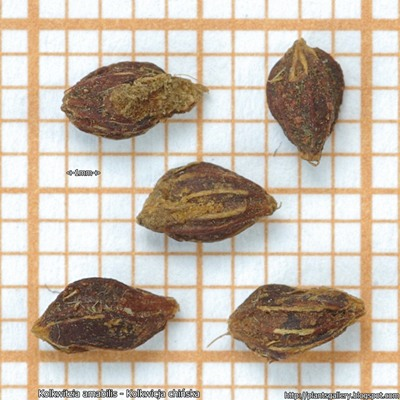 Kolkwitzia amabilis seed - Kolkwicja chińska nasiona
