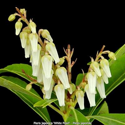 Pieris japonica 'White Pearl' - Pieris japoński 'White Pearl' kwiatostan