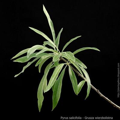 Pyrus salicifolia - Grusza wierzbolistna