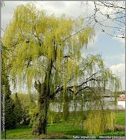 Salix sepulcralis habit - Wierzba płacząca pokrój