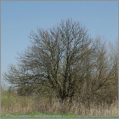 Malus sylvestris - Jabłoń dzika pokrój na przedwiośniu