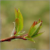 Salix moupinensis - Wierzba mupińska