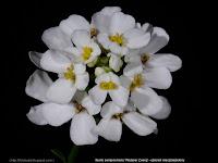 Iberis sempervirens 'Weisser Zwerg' - Ubiorek wieczniezielony