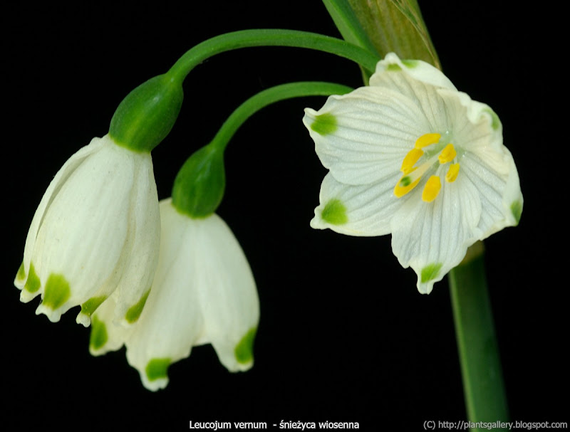 Leucojum vernum flowers - Śnieżyca wiosenna kwiaty