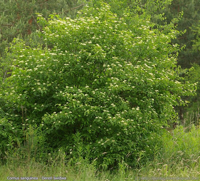 Cornus sanguinea - Dereń świdwa
