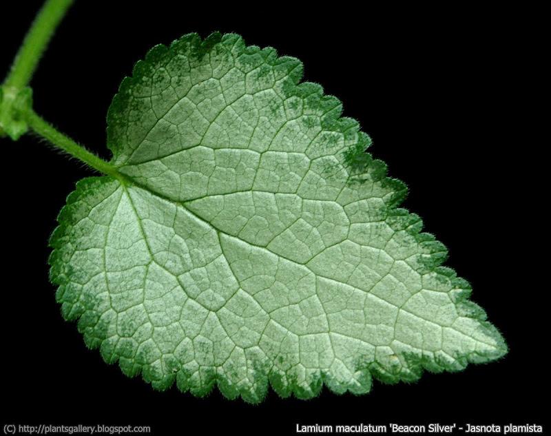 Lamium maculatum 'Beacon Silver' leaf- Jasnota plamista 'Beacon Silver'liść