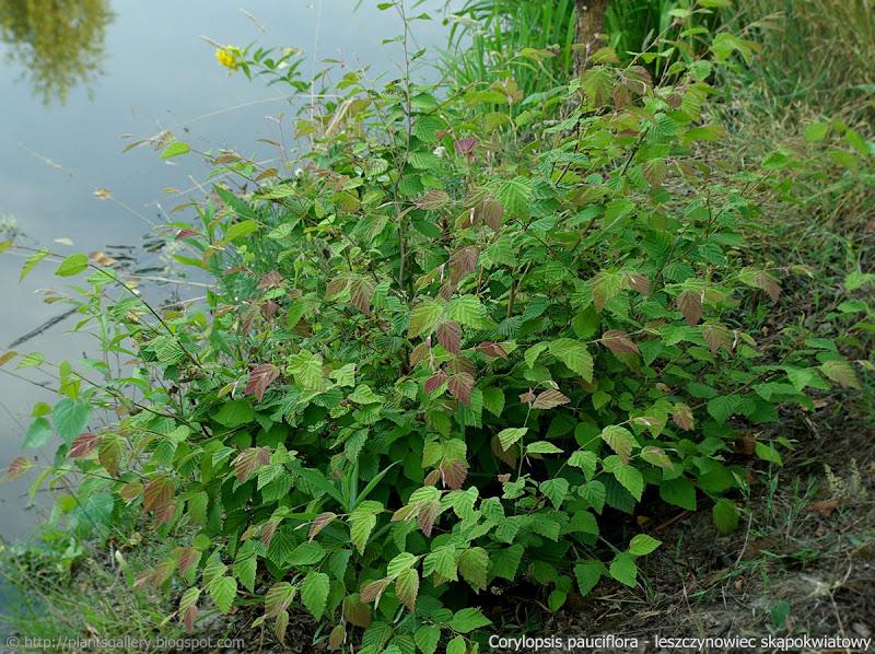 Corylopsis pauciflora habit - Leszczynowiec skąpokwiatowy pokrój