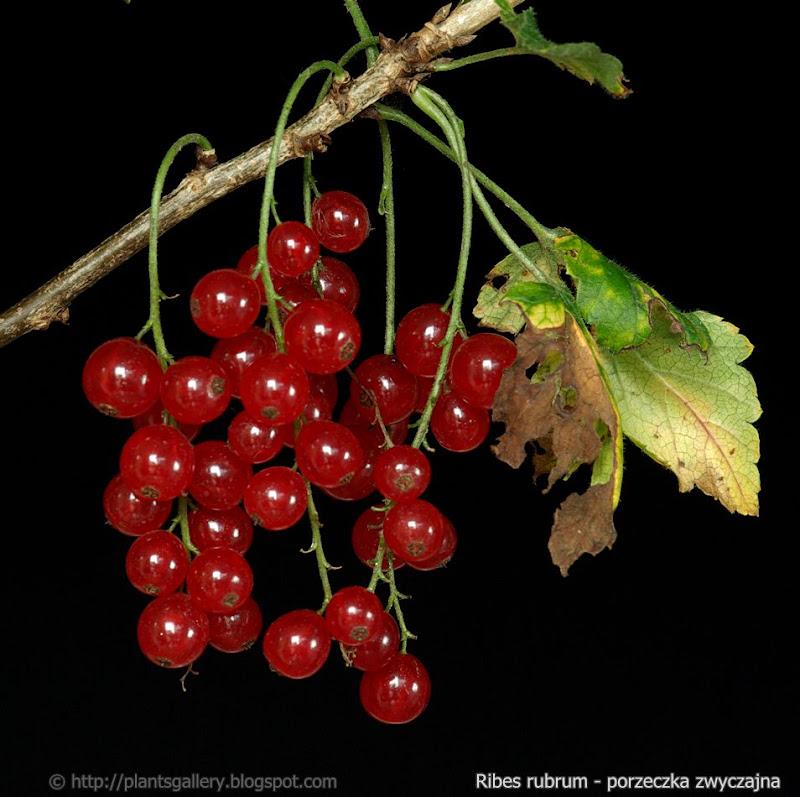 Ribes rubrum fruits - Porzeczka zwyczajna owoce