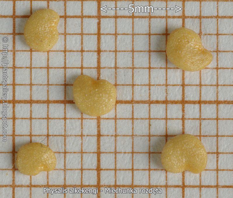 Physalis alkekengi seeds - Miechunka rozdęta nasiona