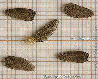 Arctium lappa seeds - Łopian większy nasiona