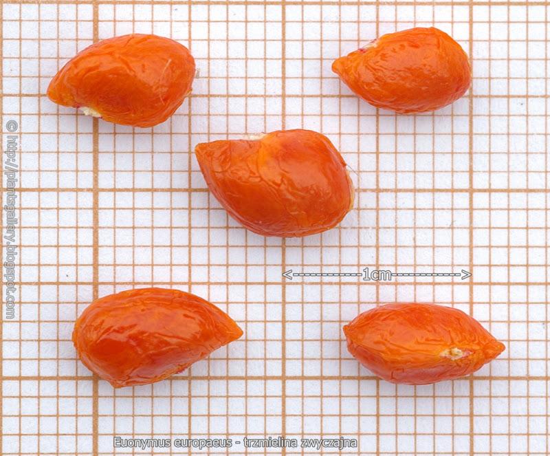 Euonymus europaeus seeds - Trzmielina zwyczajna nasiona