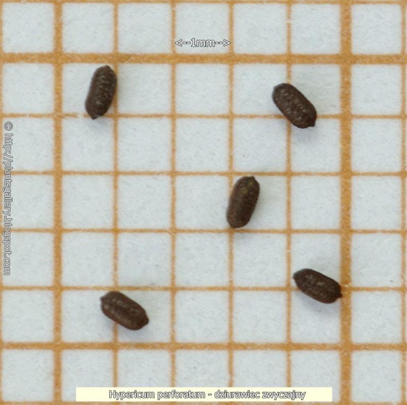 Hypericum perforatum seeds - dziurawiec zwyczajny nasiona