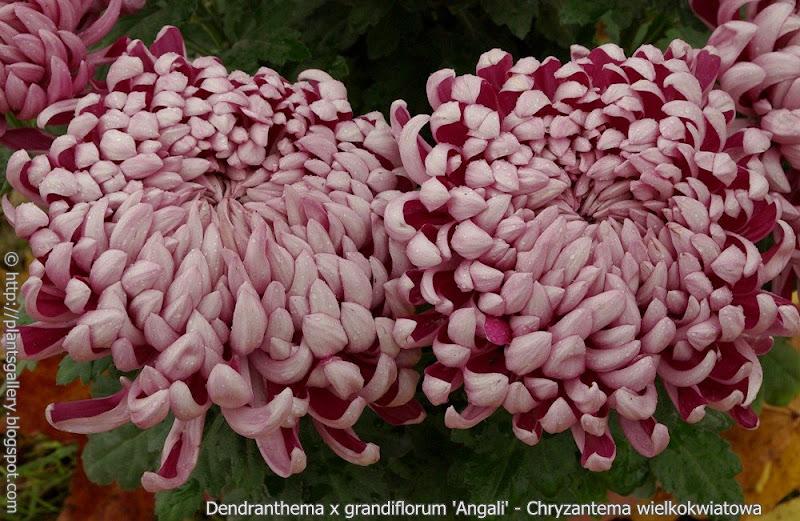 Dendranthema x grandiflorum 'Angali' - Chryzantema wielkokwiatowa