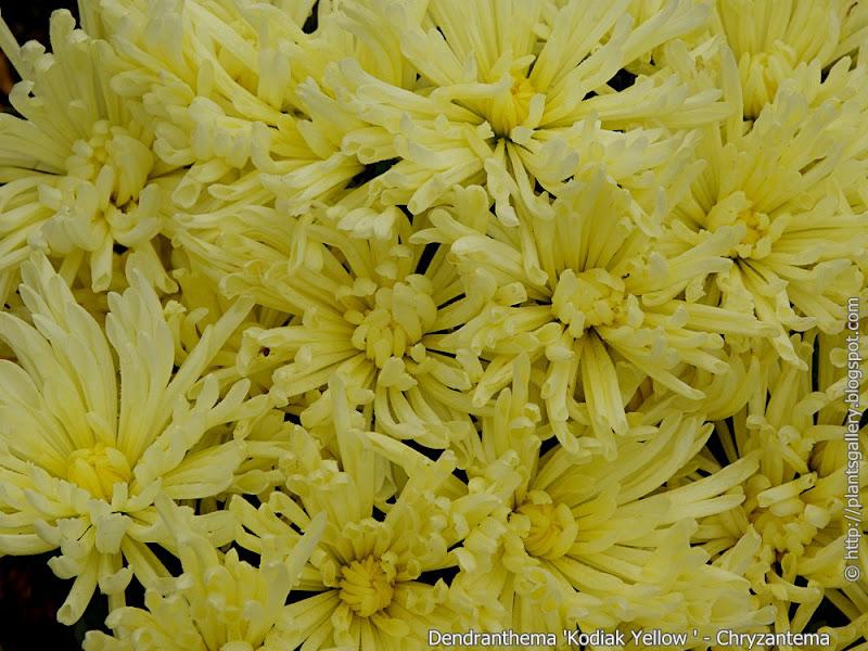 Dendranthema 'Kodiak Yellow' flowers  - Chryzantema 'Kodiak Yellow' kwiaty
