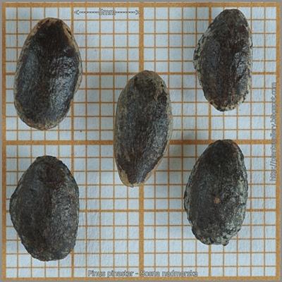 Pinus pinaster seed - Sosna nadmorska nasiona