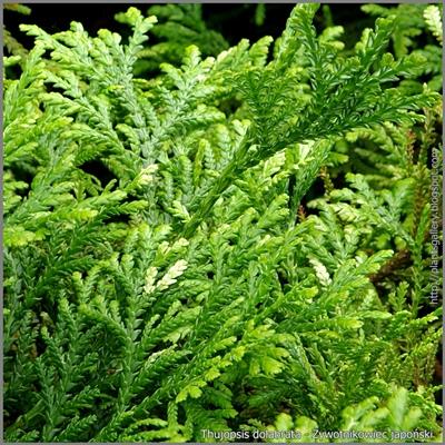 Thujopsis dolabrata - Żywotnikowiec japoński