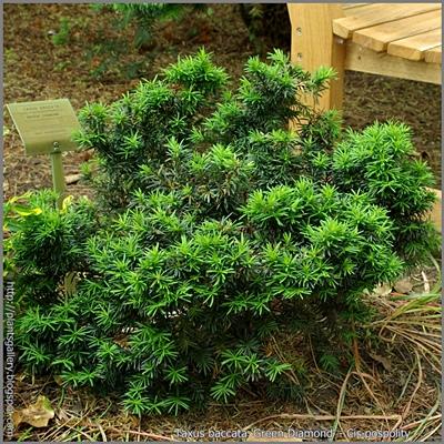 Taxus baccata 'Green Diamond' - Cis pospolity 'Green Diamond'