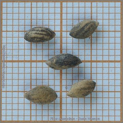 Pinus massoniana seed - Sosna Massona nasiona