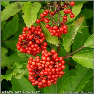 Sambucus racemosa fruit - Bez koralowy owoce