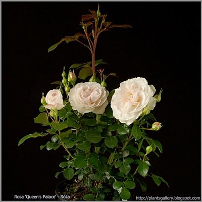 Rosa 'Queen's' - Róża 'Queen's'